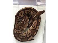 Male cinnamon python