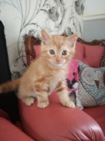 Stunning Ginger boy kitten