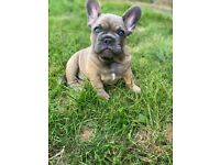 KC registered Blue fawn french bulldog 10 weeks old male