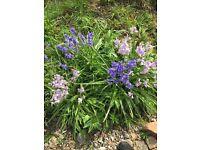 Blue Bell Plants