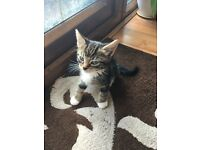 8 week old male kitten - looking for a loving home