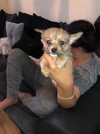 Beautiful shorky x chihuahua pup
