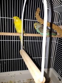 3 stunning budgies with cage and stand need new home