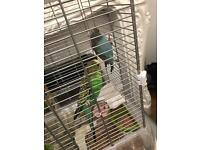 Budgies and cage for sale beautiful colours!