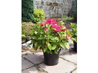 Home Grown Hydrangeas for sale