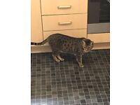 2 Bengal cats in search of a loving home...