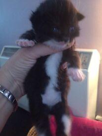 Female Kitten half British blue