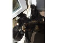 2 months old Black Kittens for Sale