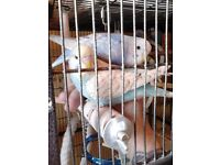 2 Hand tame budgies for sale.