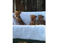 Chihuahua x Yorkshire terrier puppies gorgeous