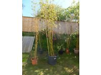 Magnificent bamboo specimens for sale at a very reasonable range of prices.