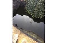 Pond Goldfish