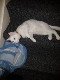 white kitten 6 months old