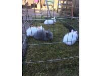 Beautiful baby mini lion head bunnies rabbits