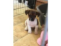 Lovely Jack Russell pups - only boys left as at 19th July