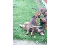 3beautiful german sheperd pup for sale