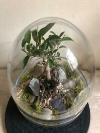Egg shaped terrarium with 6 years old Ficus Bonsai tree
