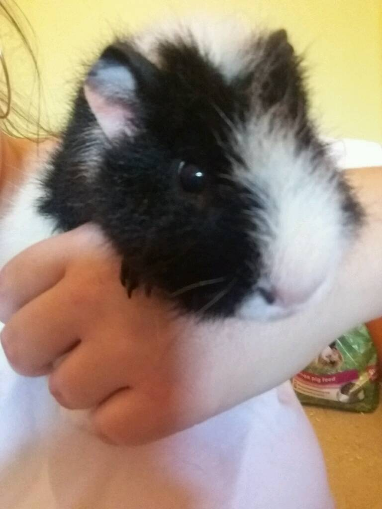 2x guinea pigs