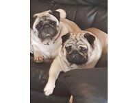 2 pugs for sale