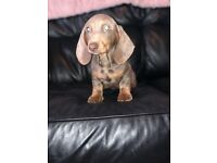 Minuture dachshunds puppies