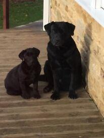 Labrador dog black kc reg micro chipped all needles