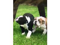 British bulldog puppies, 12 weeks old