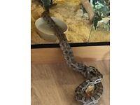 Male anery corn snake