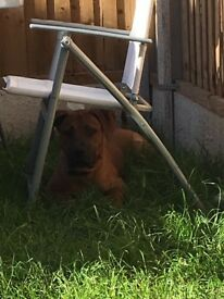 8 month old dog de Bordeaux x Hungarian vizsla