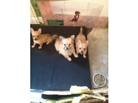 Beautiful Pomeranian cross chihuahua puppies