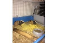 2 Guinea Pigs with cage, both healthymales , around 8 weeks old complete with cage