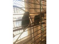 2 oranged winged Amazon parrots with cage