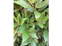 30 Freshly Picked English Bay Leaves (Laurus Nobilis) for Culinary / Magical use