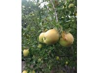 Free you Pick Apples, two kinds, Green, eat, cook, pickle or press, come pick