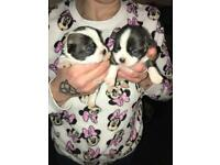 Puppies for sale (JUGS)
