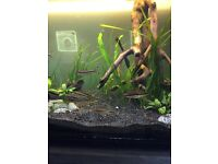 denisonii barb, fish, tropical, red stripe barb, tiger barb, aquarium, tropical fish