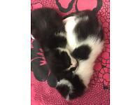 Kittens forsale