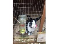 Rabbit - black and white, hutch and thermal cover