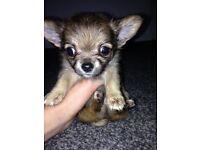 Baby boy chihuahua