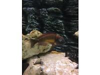 Tropheus red rainbow kasanga tanganyika Cichlids