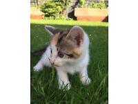Calico girl kittens