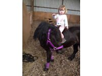 11.2 hh registered Dartmoor mare