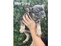 Top bloodline frenchie puppies