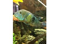 African and American cichlids large sizes £10-£20