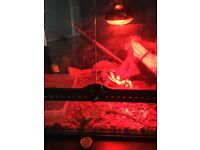 X3 Chinese water dragons and compleat led digital climet control heating/lighting system