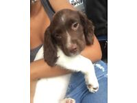 Kc English Springer spaniel puppy ONO