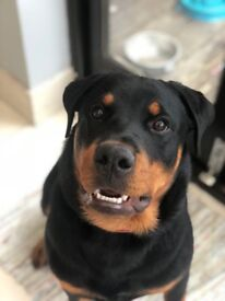 6 month old rottweiler for rehome