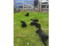 Black labrador dog pups for sale