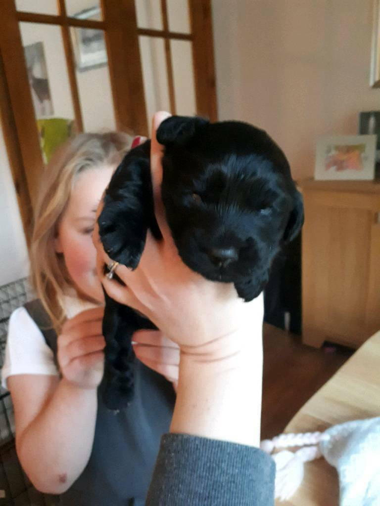 Corkypoo pup