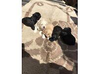 Shitzu cross toy poodle puppies (shihpoo)