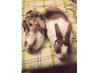 **RABBITS FOR SALE**